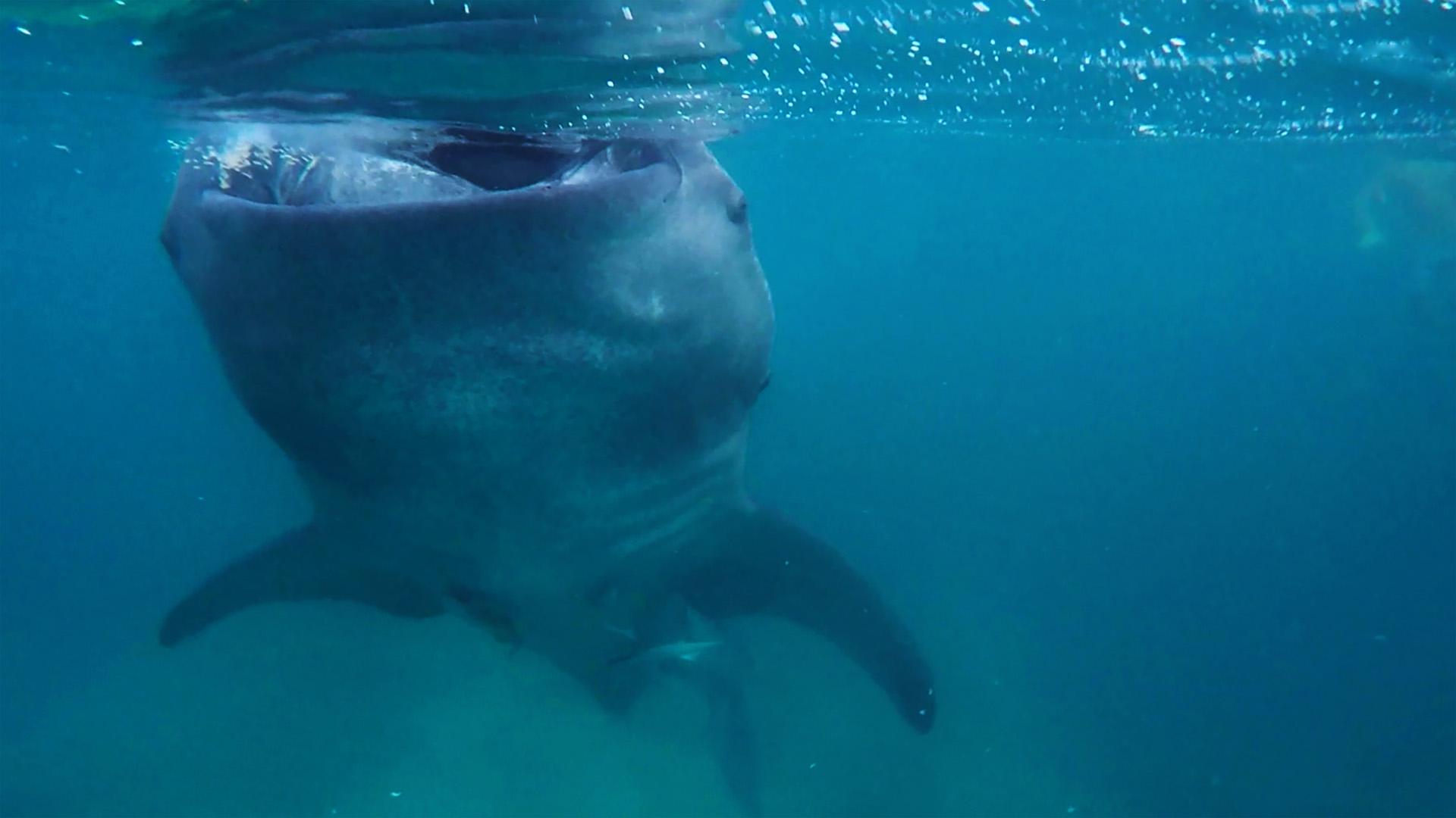 Dev balina köpek balığı ile burun buruna geldiğim an